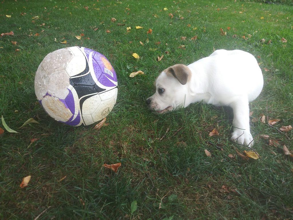 bulldog puppy adoption