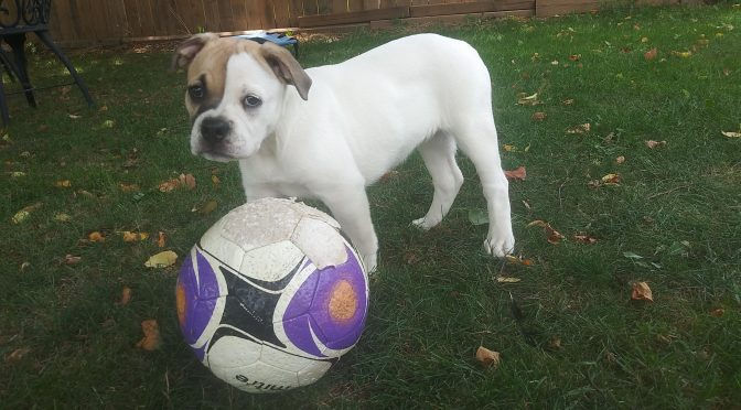 ADOPTED! – Olde English Bulldog x Boxer Puppy