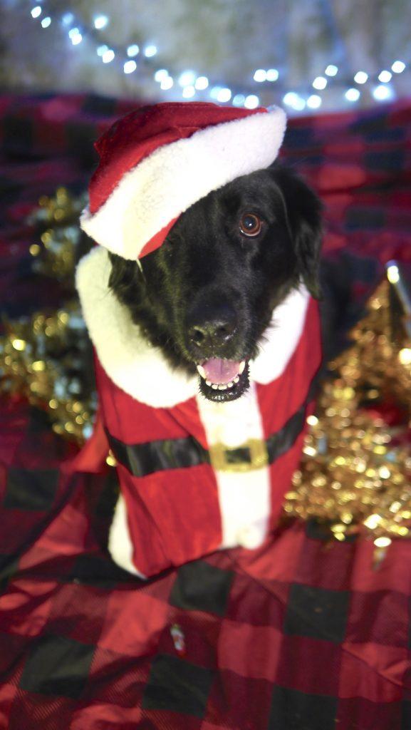 Retriever Christmas Dog Photo