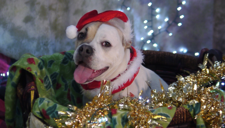 olde english bulldog christmas 2020